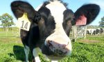 New Zealand rejects more than 100,000 cows to eradicate Mycoplasma disease