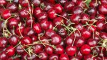 The best cherry harvest ever