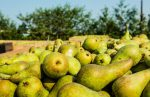 Belgian pear producers are struggling