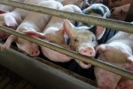 European Citizen Initiative to ban cages for farm animals has collected 1 million signatures