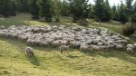 Romania disregard EU shipping sheep in summer heat
