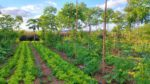 Farmers need financial security to support the implementation of agroforestry